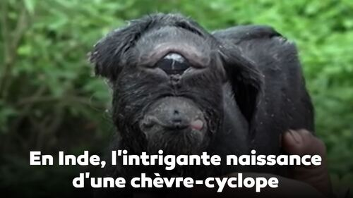 Inde- Intrigante chèvre cyclope