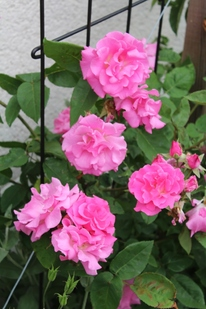Rétrospectives mai 2017 - les roses