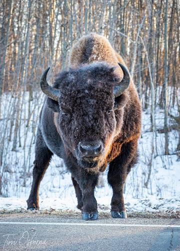 Le bison et la modernité ...