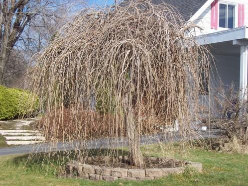arbre-jacinthe.jpg