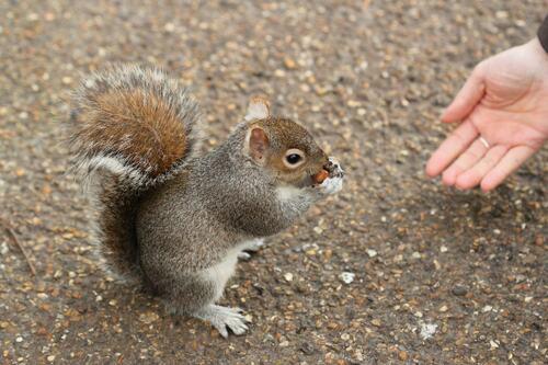 Les écureuils londoniens !