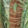 Cerisier à fleurs 'Amber Beauty'