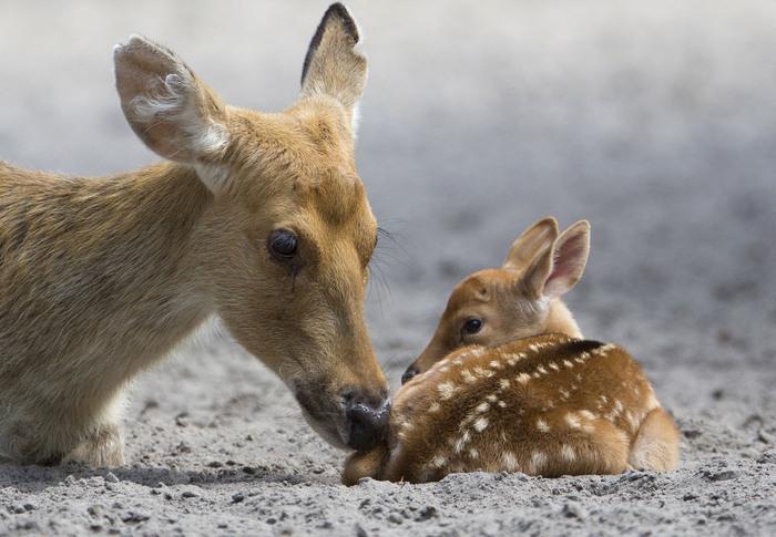 Bonjour....   avec maman biche et son petit faon....