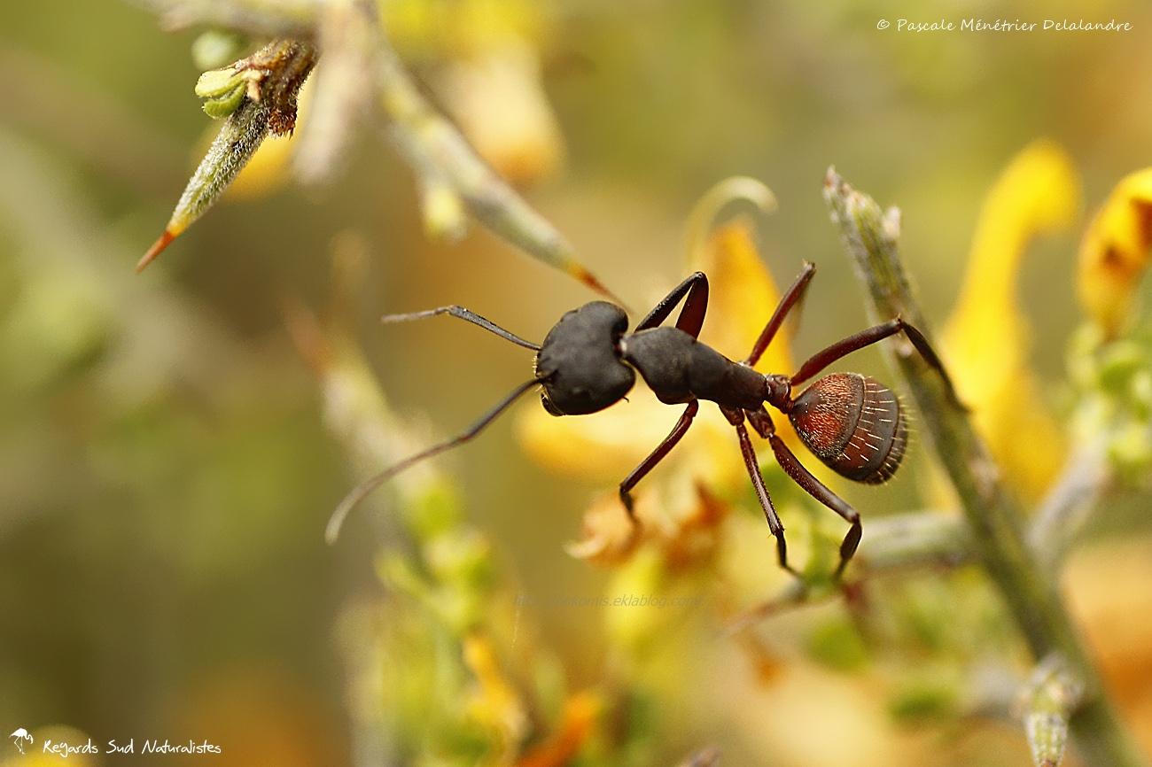 Fourmi Camponotus cruentatus
