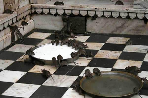 rats noirs