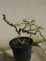 acacia twisty baby