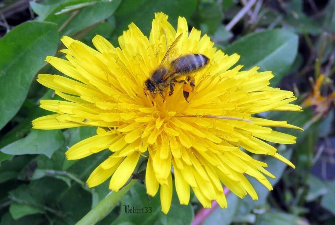 une abeille sur un pissenlit