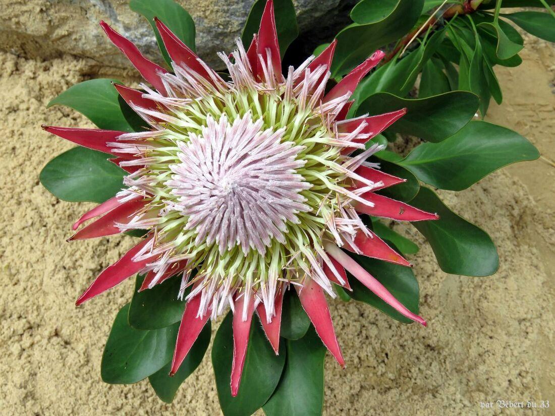 une protéa en fleur