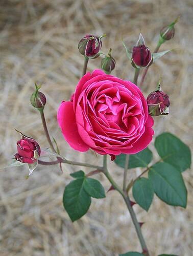 Les Roses de Warren : Framboise Frappé