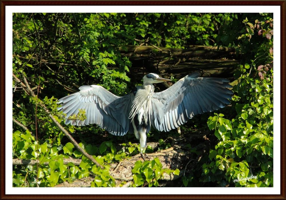Heron petit patapon...