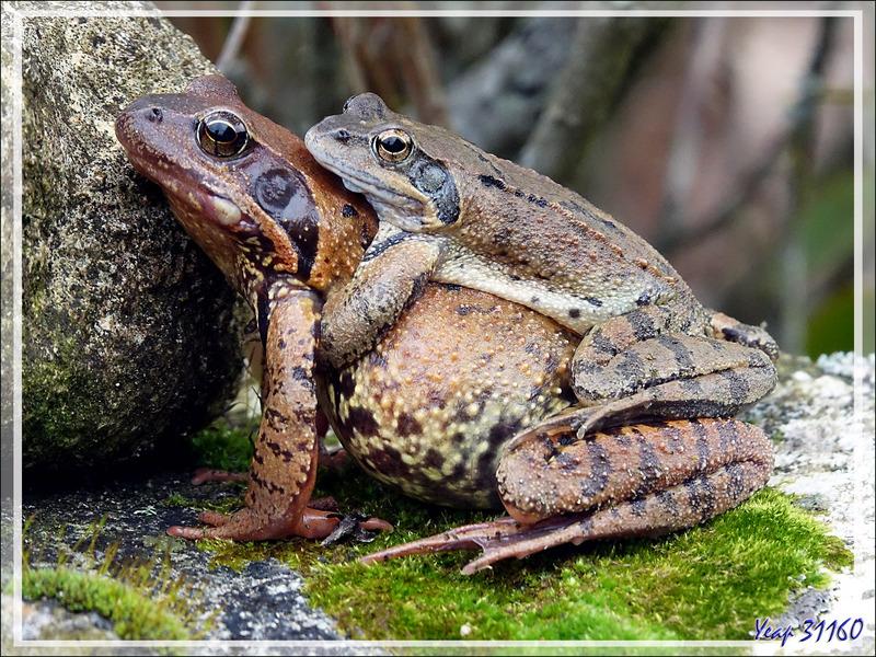 Véritable invasion de Grenouilles rousses (Rana temporaria) - Lartigau - Milhas - 31