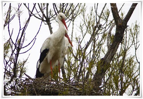 Cigogne blanche - Ciconia ciconia