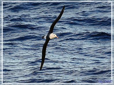 Un voilier infatigable qu'on ne voit jamais battre des ailes : l'Albatros à sourcils noirs, Black-browed Albatross (Thalassarche melanophris) -