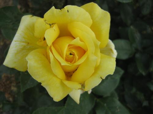 La rose n° 67 demandée par Jean Pierre
