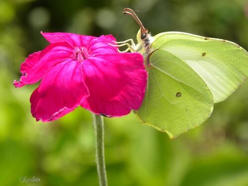 Les papillons au jardin