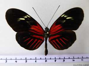 Forme Aglaopeia