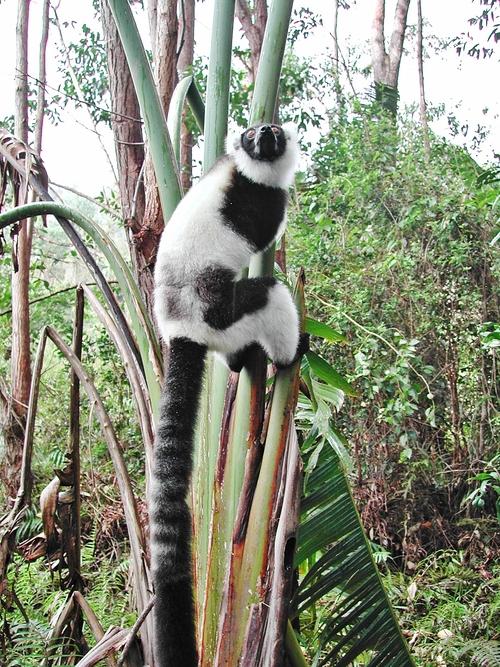 Lémuriens à Madagascar