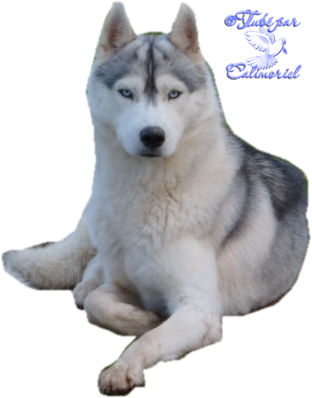 Tubes-Animaux-chiens--husky3