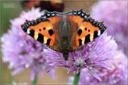 La Petite Tortue Aglais urticae Nymphalidae