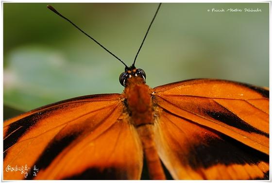 Dryadula phaetusa - Nymphalidae - Costa Rica