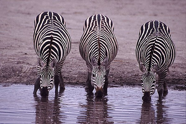 800px-Three Zebras Drinking