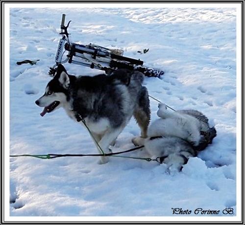 Huskys dans la neige (janvier 2020)