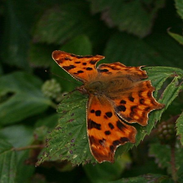 600px-Comma Butterfly - geograph org uk - 214451