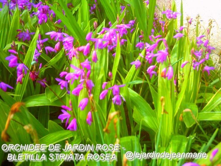 dans mon jardin, des Azalées de jardin,des ancolies,des Iris germanica,la boule de neige,des orchidées de jardin