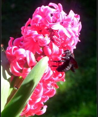 Xylocopa violacea, Abeille perce-bois (suite et fin)