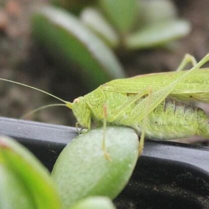 Phaneroptera Nana ou Phaneroptère Meridional ou Sauterelle Verte aux petites tâches rouille