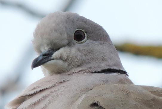 Pigeons et tourterelles