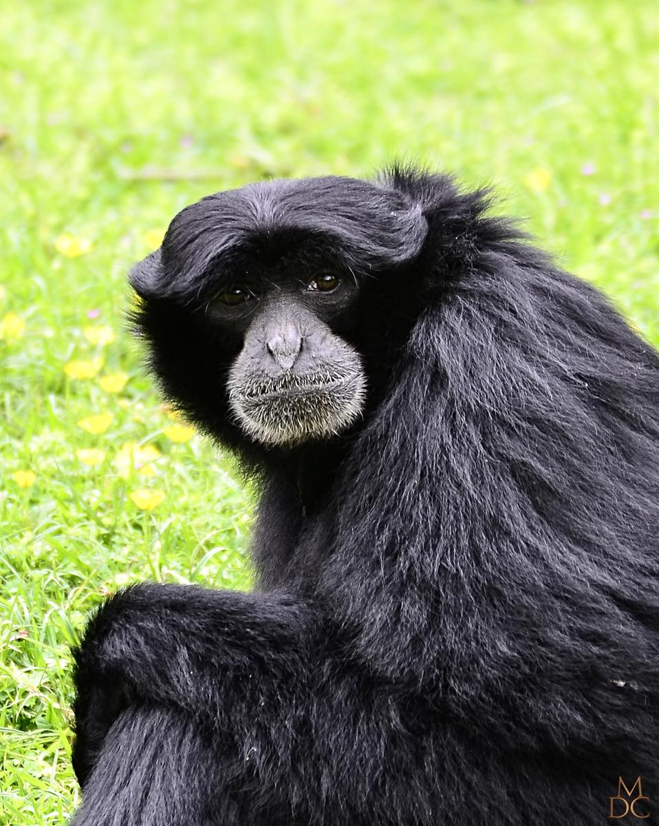 Gibbon Siamang