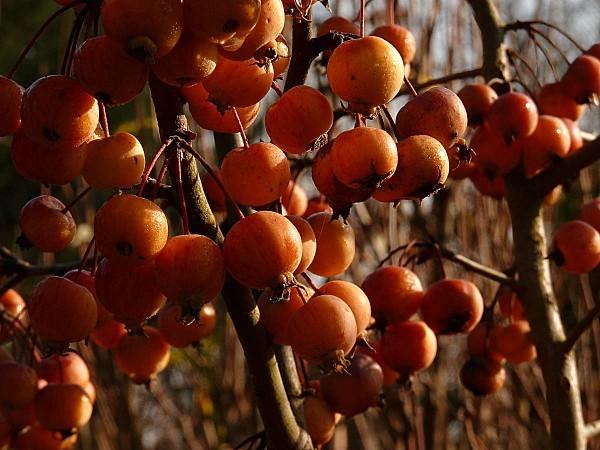 Pommes Malus densité 15-1