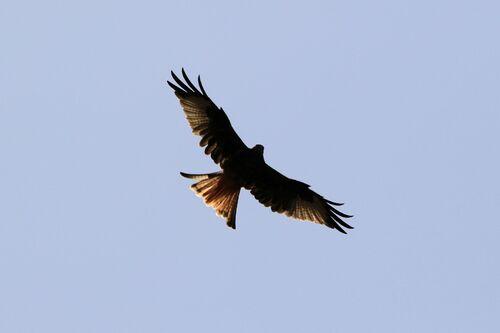 Milan royal (Red Kite)