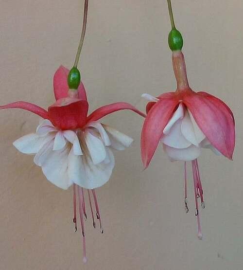Fleurs cultivées : Fuchsias