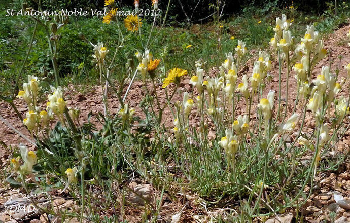 Linaria supina - linaire couchée