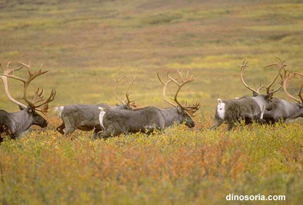 Migration des caribous