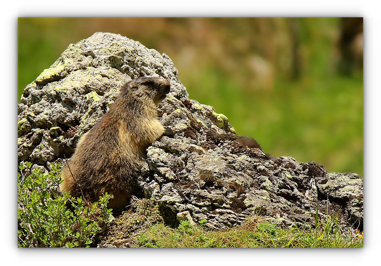 Marmottes des Alpes (Marmota marmota)