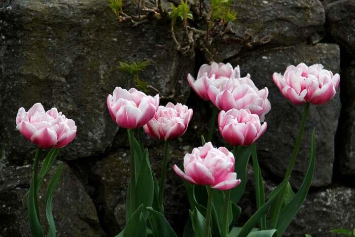 Tulipes 2014 : Melrose