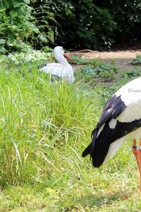Cigognes Blanches ou Ciconia Ciconia - Jardin Botanique de Tours ( Indre et Loire)