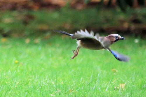Geai des Chênes (Eurasian Jay)