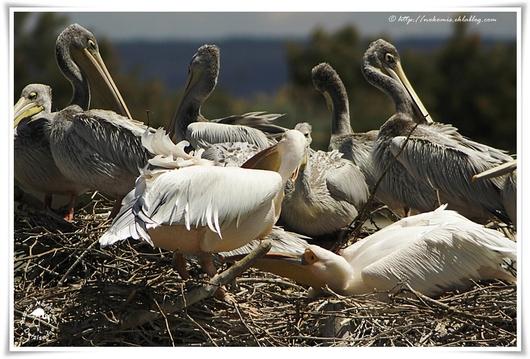 Pélicans blancs et Pélicans à dos rosés