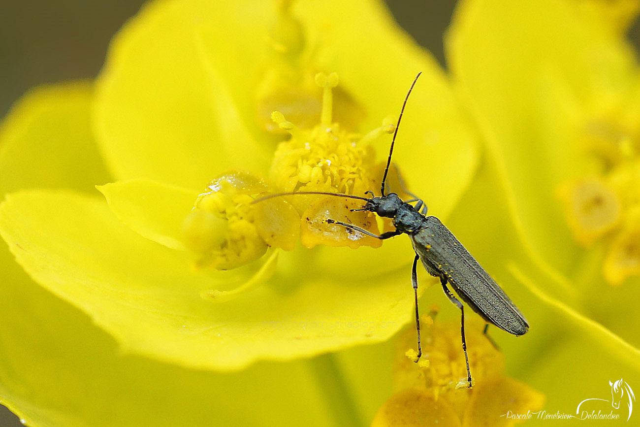 Oedemera flavipes  ♀
