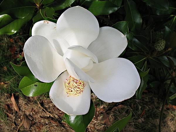 arborétum chamberet- magnolia de soulange