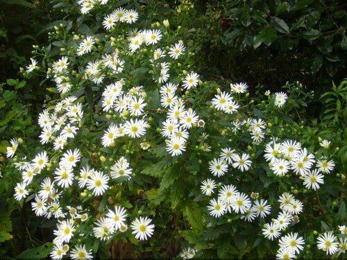 8.Aster.