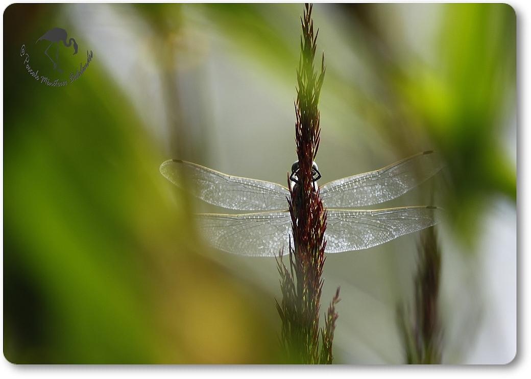 Cache cache avec une libellule...