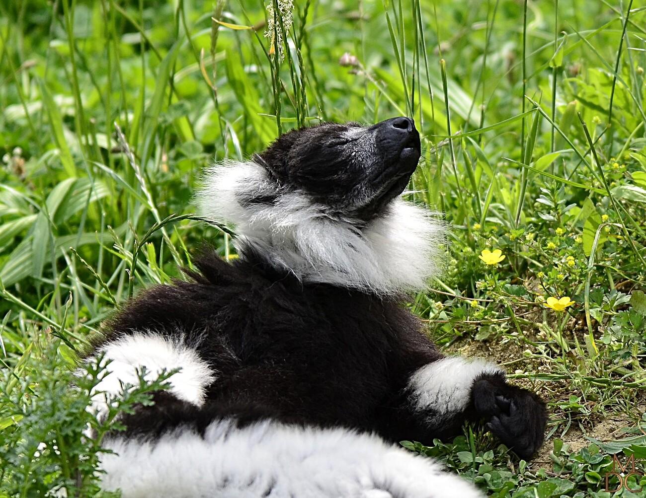 Maki Vari noir et blanc