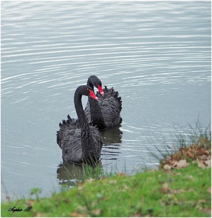 Les cygnes noirs .