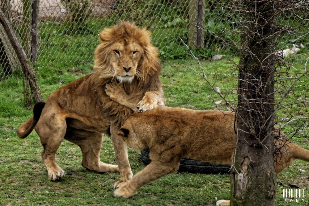 Jeux de lions