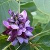 kudzu-fleur.jpg